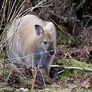 Bennett's Wallaby - Sandy Morphology by inthewild