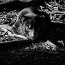 Sunning Tasmanian Devil by inthewild