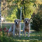 Stunning Golden Retriever pair by Penny Brooks