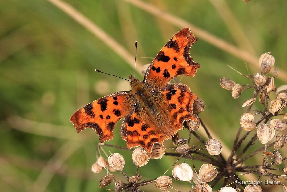 Commar Butterfly by Ruediger Baine