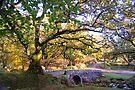 Ancient Oaks by DonDavisUK