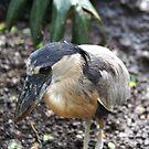 Boat-billed Heron by Lorelle Gromus