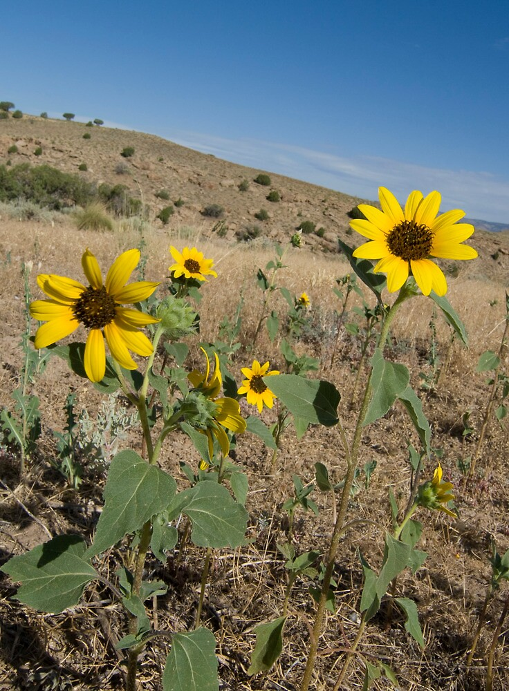 Yellow desert flowers arizona and utah by akrolith redbubble yellow desert flowers arizona and utah by akrolith mightylinksfo