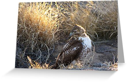 Red-Tailed Hawk - Morning Light by Kimberly Chadwick