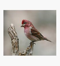 Purple Finch on a log Photographic Print
