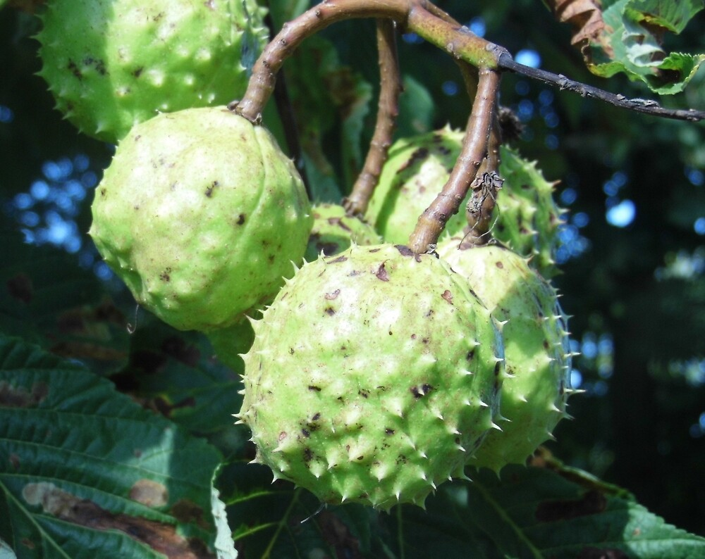 anyone for conkers by margaret hanks