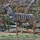 Kudu Portrait by Susan Russell