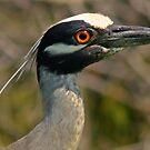 Night heron by Anthony Goldman