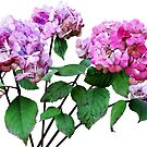 Lavender and Rose Hydrangeas by Susan Savad