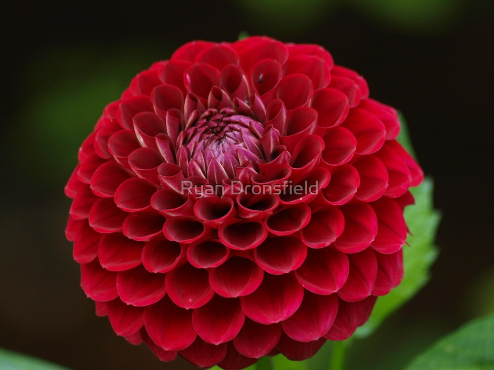 red flower by Ryan Dronsfield