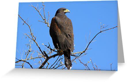 Harris's Hawk ~ Non-Captive by Kimberly Chadwick