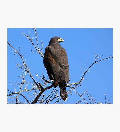 Harris's Hawk ~ Non-Captive Photographic Print