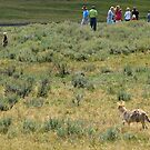 coyote on the hunt? by James Anderson