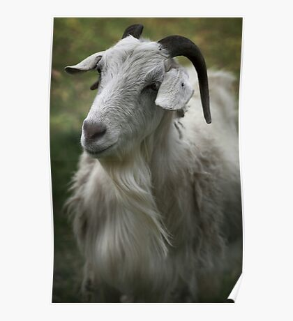 A Friendly Goat Poster