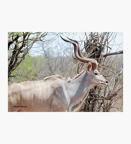 THE KUDU - Tragelaphus strepsiceros Photographic Print