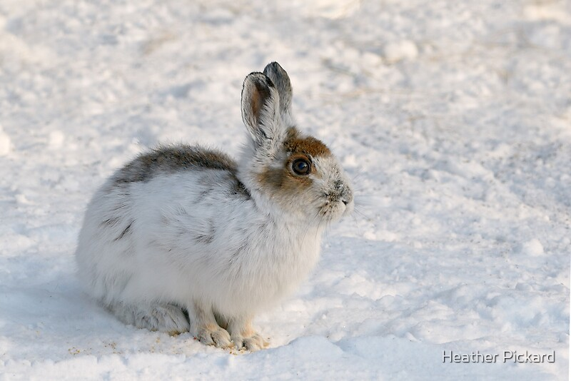 Quot Winter Snowshoe Hare Quot By Heather Pickard Redbubble