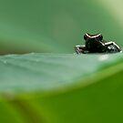 Three-striped Poison Dart Frog by Raymond J Barlow