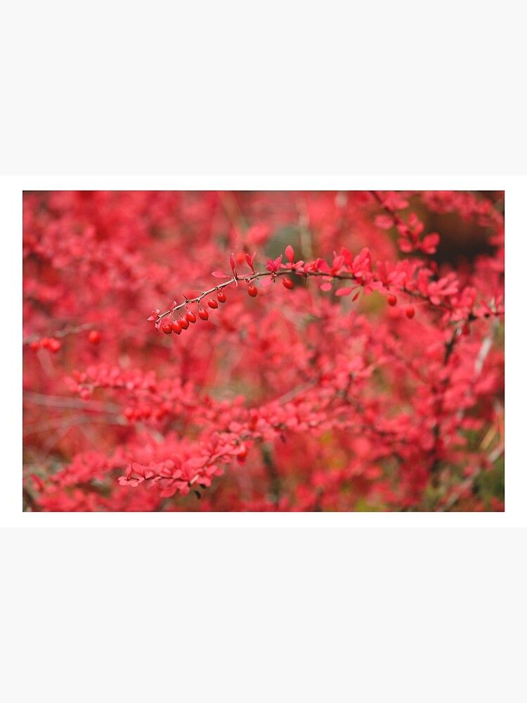 Close-up of red barberry in autumn by Juhku