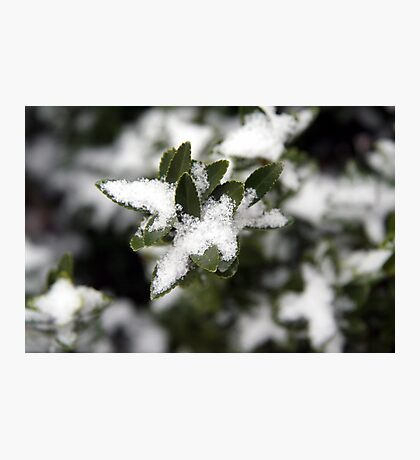 Snowkiss'd Euonymous Photographic Print