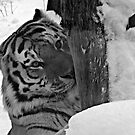 Dangerous, me?  Nah!  Come Closer (Amur Tiger) by Robert Miesner