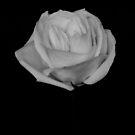 Rose in B&W by Sam Davis