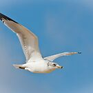 Ring-Billed Gull by Joe Elliott