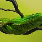 SNAKES : Green Mamba by AnnDixon