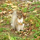 Leucistic American Red Squirrel ~ Growing Apace by artwhiz47