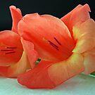 Gladiola by mrvica