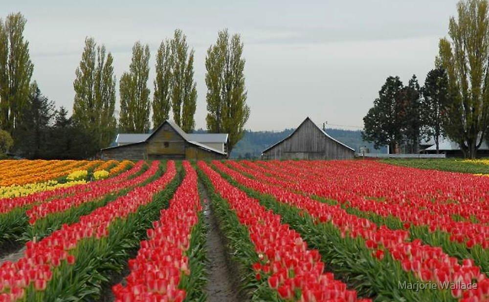 Tulips in Skagit Valley ~Washington state by Marjorie Wallace