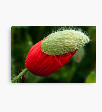 Poppy with a hat Canvas Print
