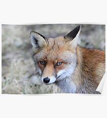 Fox - 1286 Poster