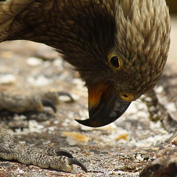 Carefree Kea by stocks14