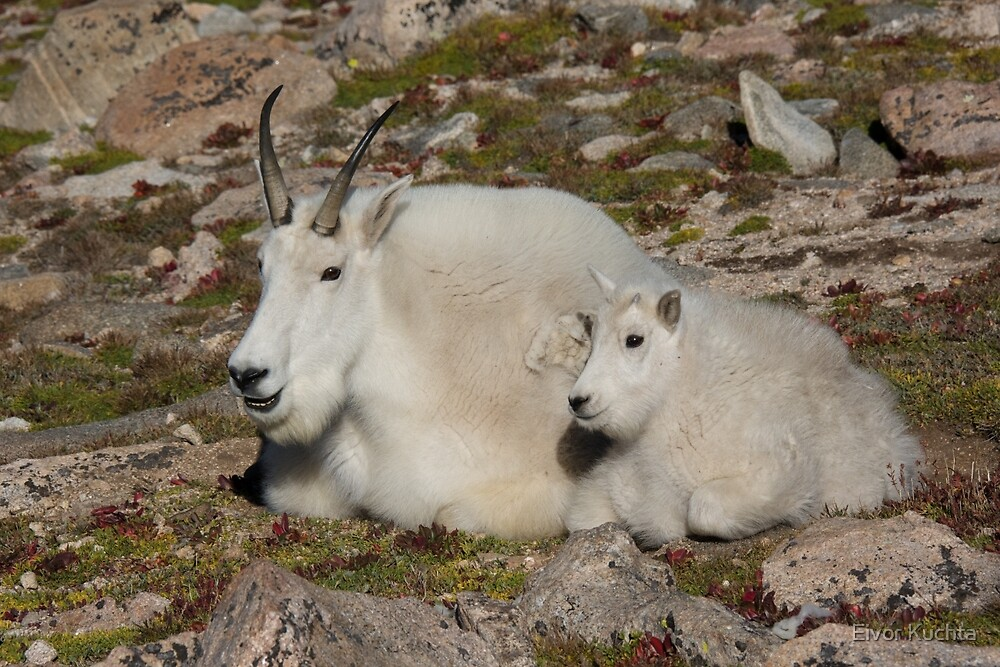 Mother and child Mountain Goat by Eivor Kuchta