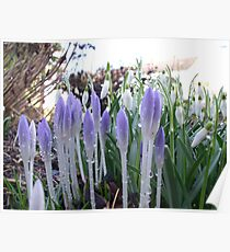 RAINDROPS ON CROCUS AND SNOWBELLS Poster