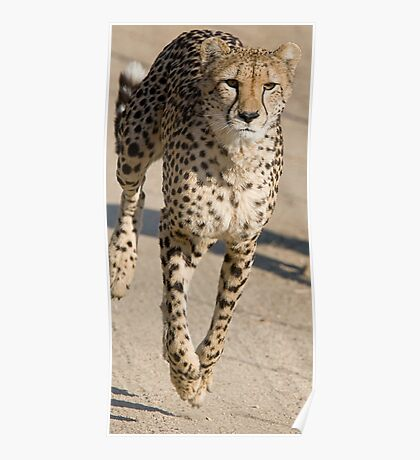 Cheetah On the Run Poster