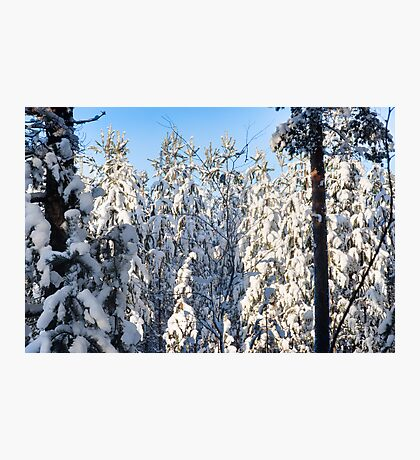 A Birch On White Pines Photographic Print
