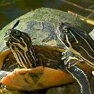 """""""Sticking Their Necks Out"""" - red-bellied turtles by ArtThatSmiles"""