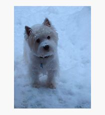 Winter White - West Highland White Terrier Photographic Print