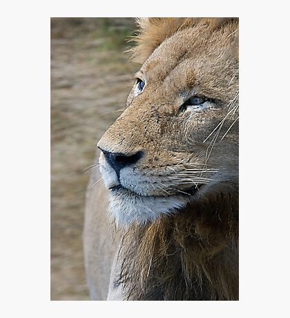 Lion Profile Photographic Print