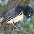 Willie Wagtail by Rick Playle