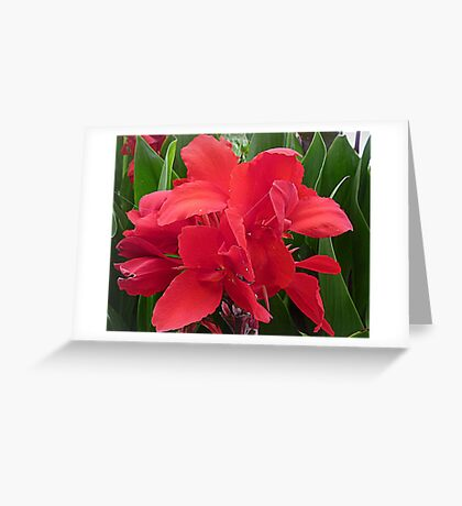 Red Canna - Lily Greeting Card