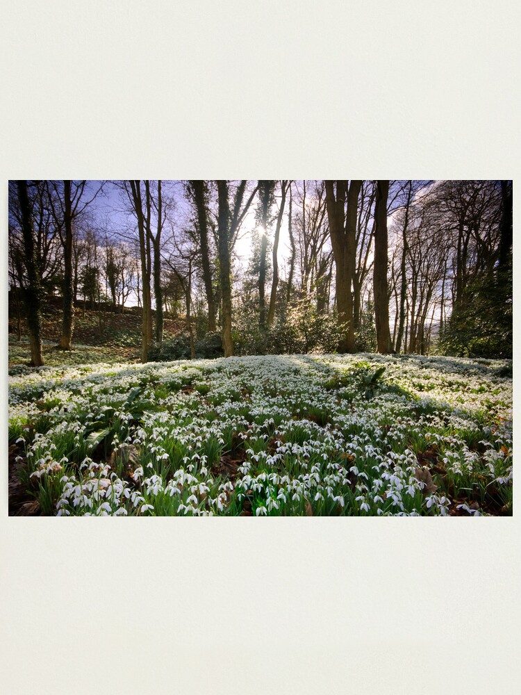 Alternate view of Snowdrop Woods Photographic Print