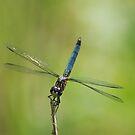 Blue Dasher by Steve Borichevsky