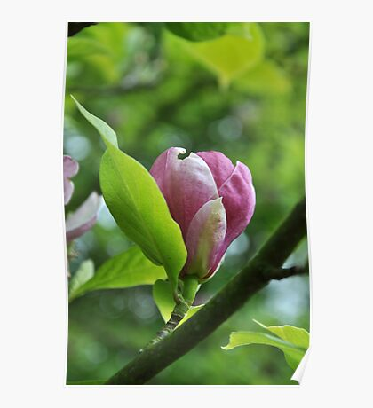 Serenity - Pink Magnolia Poster