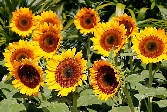 Sunflower Cluster by John Wallace
