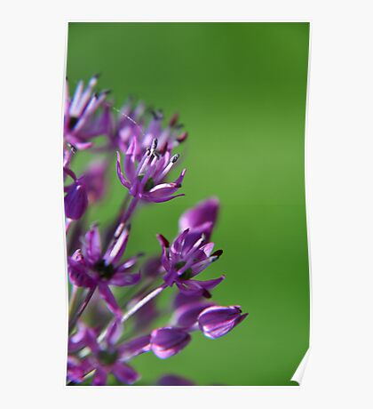 Lilac Flowering Onion Poster