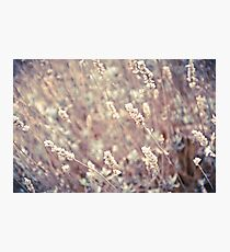 Dried Lavender Photographic Print
