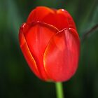 Tulip Red With A Hint Of Yellow  by Joy Watson