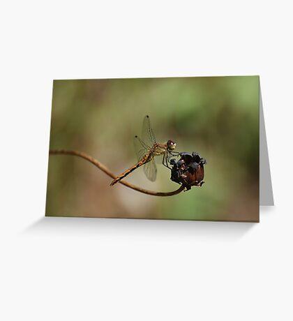 Female Meadowhawk Greeting Card